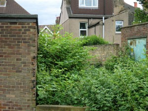 Knotweed holds up Manor Park bridge (30th June 2011)