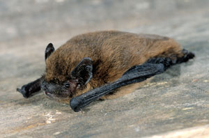 The common pipistrelle (Pipistrellus pipistrellus) - found up and down the Quaggy, even in Lewisham town centre. With wings folded it fits into a matchbox